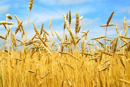 Как выращивают пшеницу